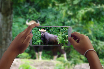 travel concept take photography bull wild animals by phone