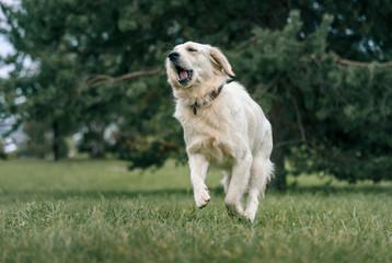 white Labrador Retriever running on green grass in the Park