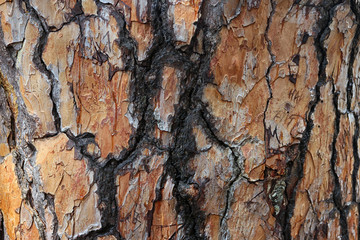 beautiful interesting texture of rough bumpy Crimean pine bark o