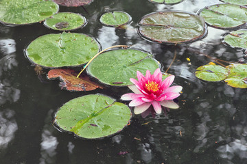 artificial pond with pink flowers of water lilies and green roun
