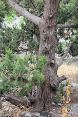 trunk with bark of juniperus communis the common juniper tree in