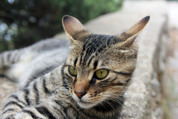 head and face of beautiful crimean non-pedigree tabby eared cat