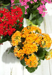 Kalanchoe (Saxifragales Crassulaceae Kalanchoe) flower in small buckets
