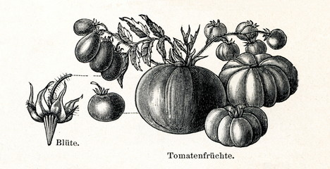 Tomato (Lycopersicon esculentum) (from Meyers Lexikon, 1895, 7/288/289)