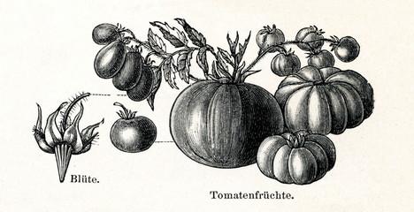 Tomato (Lycopersicon esculentum) (from Meyers Lexikon, 1895, 7/288/289)