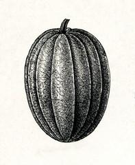 "Muskmelon (Cucumis melo) ""Preskott"" (from Meyers Lexikon, 1895, 7/288/289)"