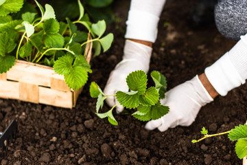 Woman is planting strawberries plants in her garden. Agriculture, work, senior lifestyle concept