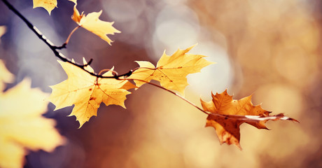 Branch of maple tree with autumn leaves.