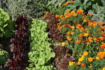 Salat in Reihen mit Tapetes