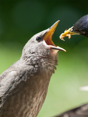 Starling Chick Being Fed
