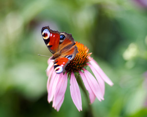 Butterfly ( Vanessa atalanta ) feeding on flower ( Echinacea purpurea )/Vivid dark butterfly admiral is sitting on large pink summer flower over green background. Butterfly on a purple coneflower