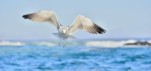 Flying Kelp gull (Larus dominicanus), also known as the Dominica Wall mural