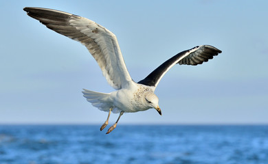 Flying Kelp gull (Larus dominicanus), also known as the Dominica
