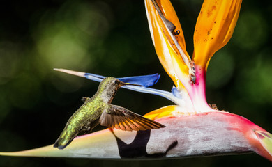 A hummingbird feeds from a bird of paradise flower.