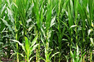 Stalks of Corn in a field