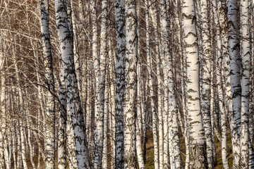 trunks birch forest trees