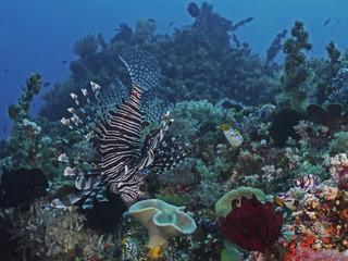 Common Lionfish, Pazifischer Rotfeuerfisch (Pterois volitans)