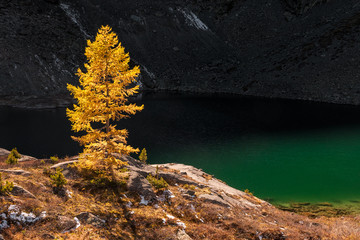 Larch in autumn colors illuminated by the setting sun stand on the shore of a mountain lake with green water in front of a stone wall, Russia, Altai