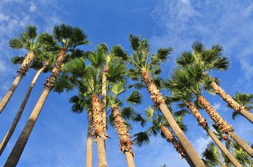Giant Desert Palm Trees Towering Above