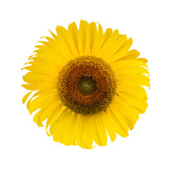 Sunflower. sunflower blooming isolated on white background. clip