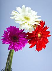 Three bright flowers. Gerbera.