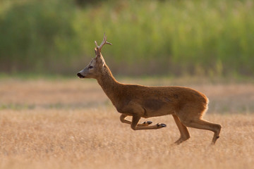Roe deer buck is running