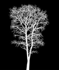 white bare tree isolated on black
