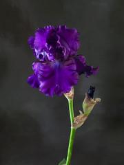 Studio shot of violet color Iris flower on a dark background.