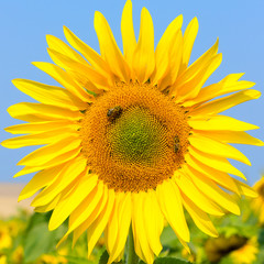 Blooming sunflower in the field under blue sky, bee collects pollen, organic background.