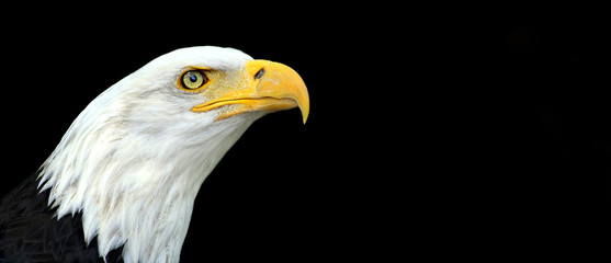 Website banner of an American bald eagle portrait