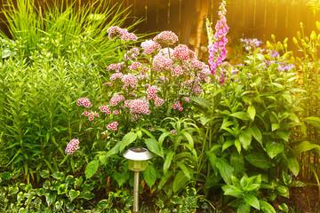 beautiful summer garden with carnation flowers