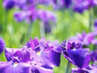 花菖蒲の紫色の花