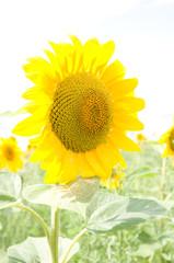 One big sunflower