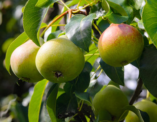 Fresh pears on a branch in the green leaves