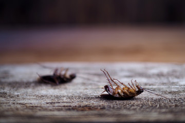 cockroaches on wooden floor.