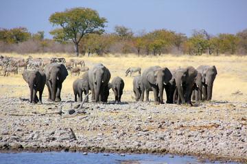 Herd of elephants approaching at waterhole