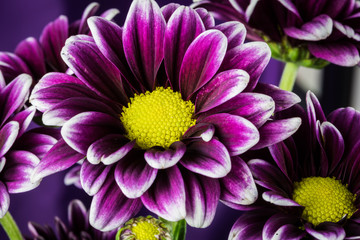 Purple Daisy Flower