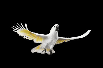 Flying Crested Cockatoo White alba, Umbrella, Indonesia, isolated on Black Background, wingspan wings