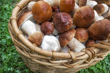 Many boletus mushrooms in  basket