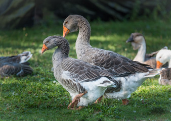 Long necked, domesticated Greylag geese happy in their place of ponds and meadows.  Big birds on a hobby farm in Ontario, Canada.