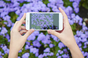 Hands holding a phone and taking a photo of a flowerbed of blooming ageratum