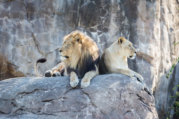 Lions on a Rock Looking Away from Each Other