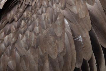 Griffon vulture (Gyps fulvus). Plumage texture. Wall mural