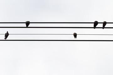 pigeon on high voltage line