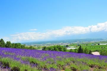 Lavender Flower Fields in Hokkaido, Japan