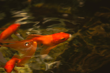gold fish in nature pond, open mouth for oxygen air breathe.