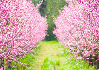 Spring cherry trees in blossom
