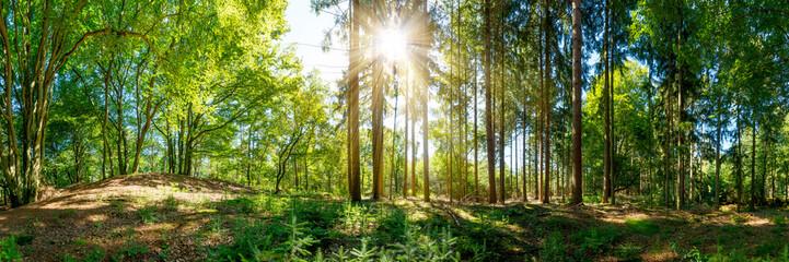 Fototapete - Wald Panorama mit alten Bäumen und Sonnenstrahlen, die auf eine Lichtung fallen