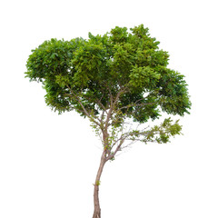Robinia pseudoacacia. Small tree isolated