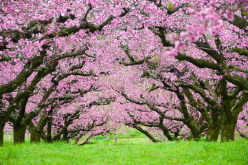 Trees in spring blossom